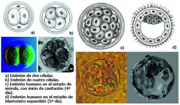 Celulas Madre: Nuevo tipo de celulas madre